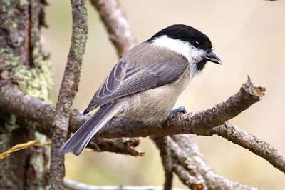 Chikadee bird