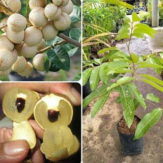 kelengkeng-aroma-durian-unggul.jpg