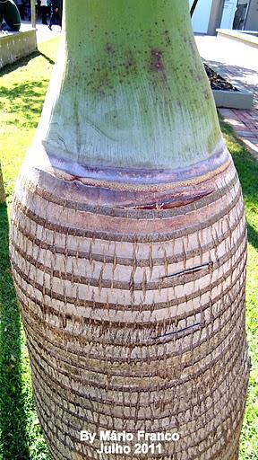 caule palmeira garrafa