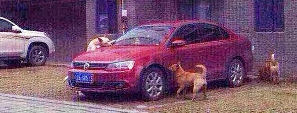 the angry dog pack get revenge on the Chinese man who kicked their sleeping friend by busting his precious car via geniushowto.blogspot.com funny dog stories