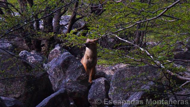 Circuito_Torres_del_Paine_Zorro_Culpeo_Patagonico