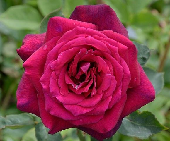 Grafin Diana сорт розы фото
