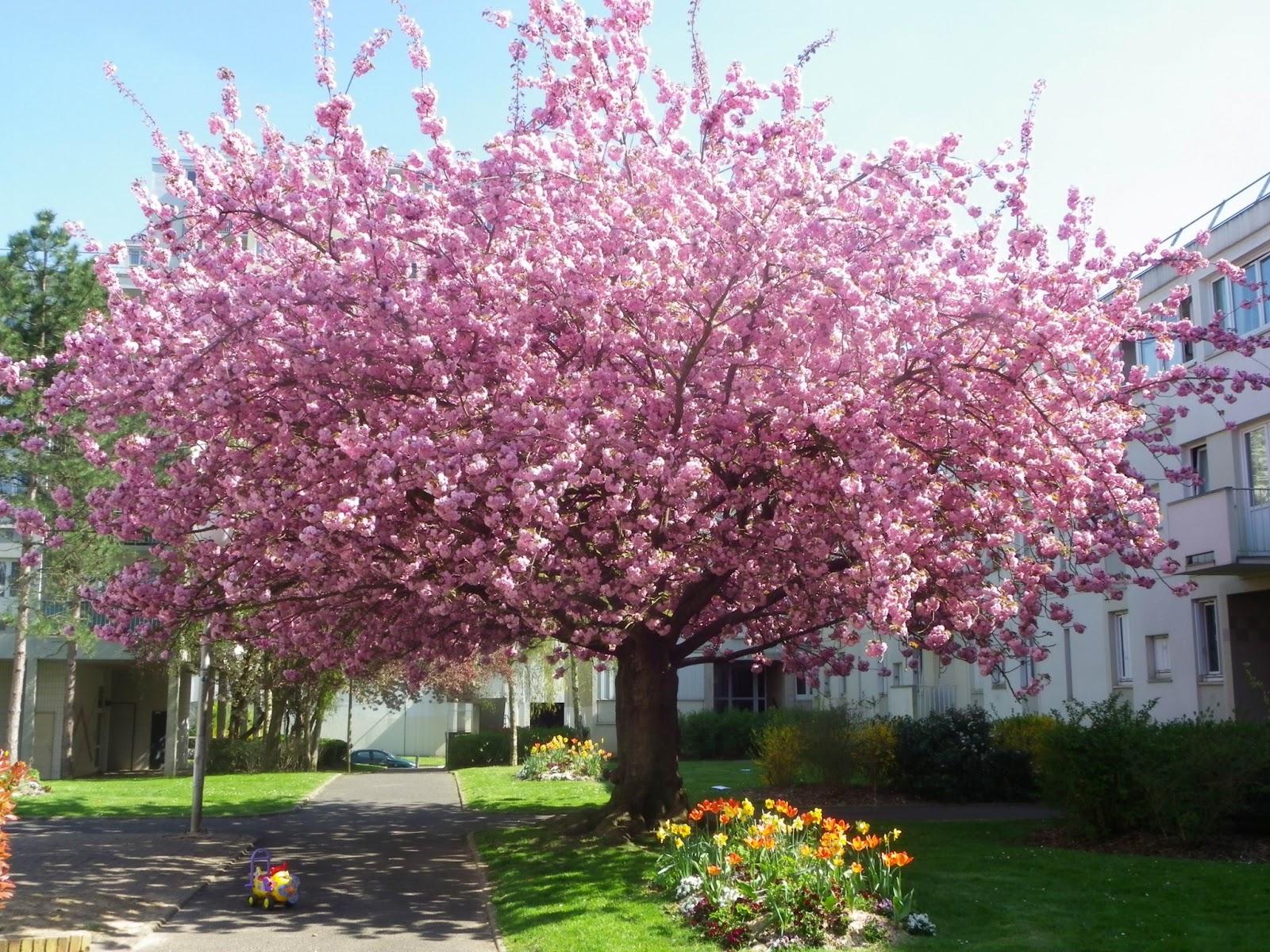 Fleurs De Cerisier Ecosia