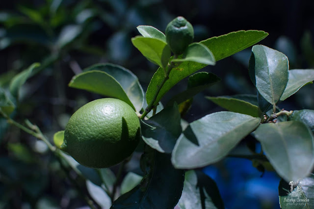 Lemon Tree (©Jenny Bell @ Flutterbye Chronicles)