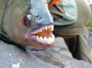 Piranha, পিরানহা, পৃথিবীর সবচেয়ে ভয়ংকর মাছ