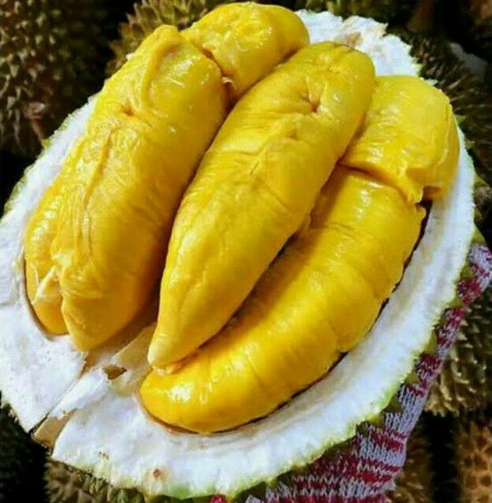 Bibit Durian Bawor KAKI TIGA Okulasi Banten