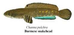 burmese snakehead