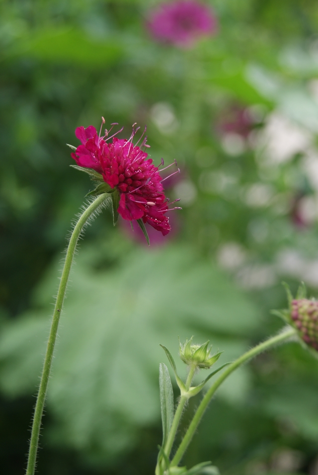 Witwenblume Knautia macedonia