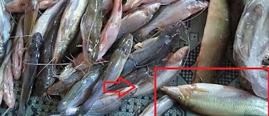 Memancing baung menggunakan ikan balukuh