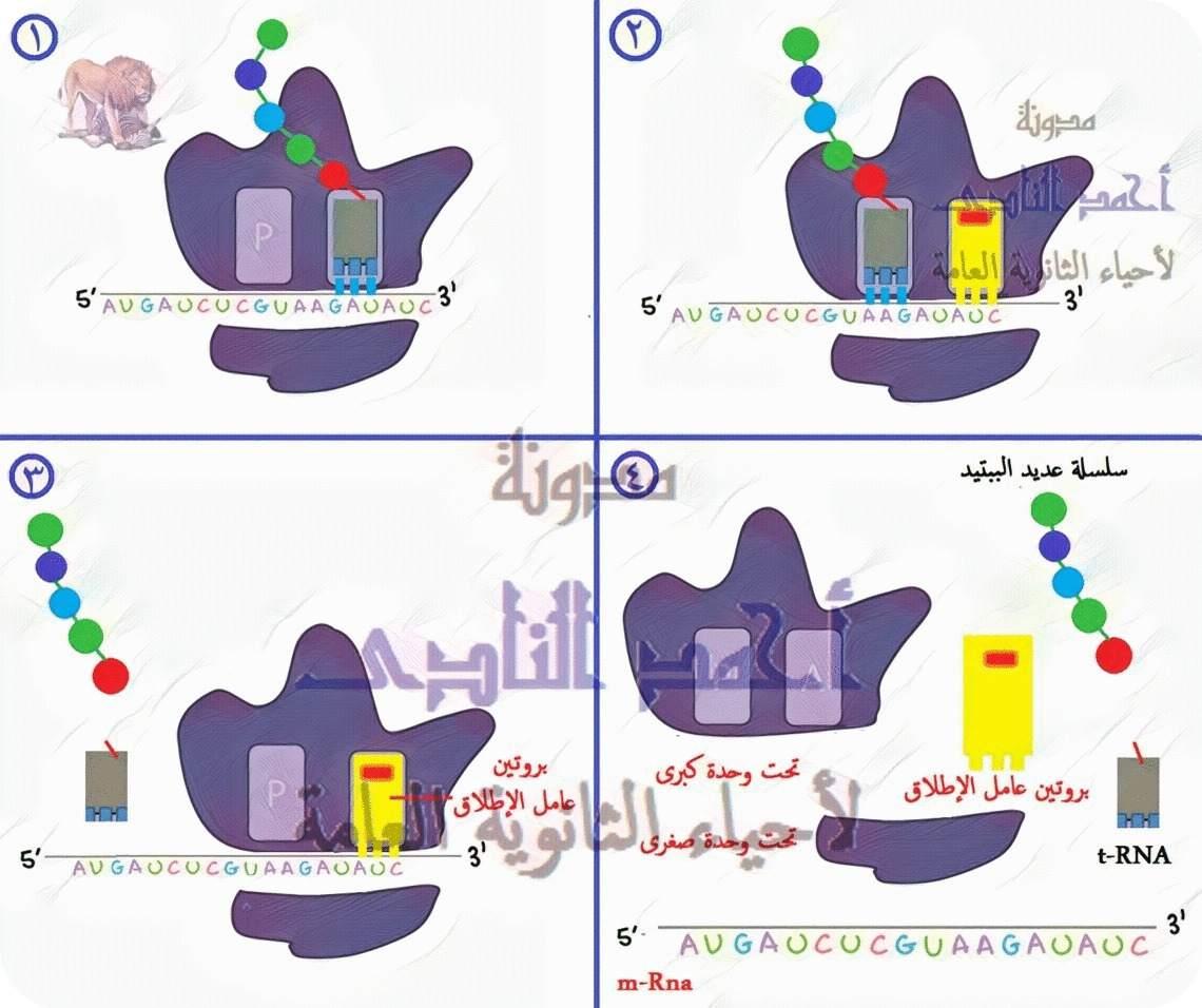 الجين – M.RNA – الشفرة الوراثية – كودون الوقف – بروتين عامل الإطلاق-  الثالث الثانوى