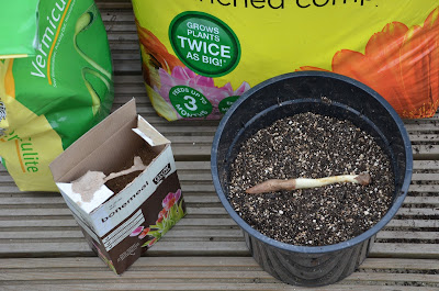 A display composed of a bag of compost. Vermiculite, bone-meal and potted glory lily root