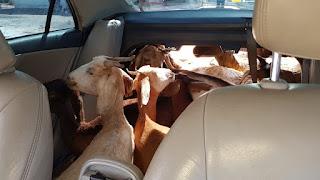 PRF na Paraíba prende 3 homens transportando 11 cabras em um automóvel; vídeo