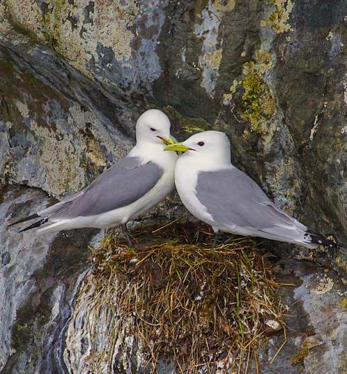 Indian birds -Image of Black-legged kittiwake - Rissa tridactyla