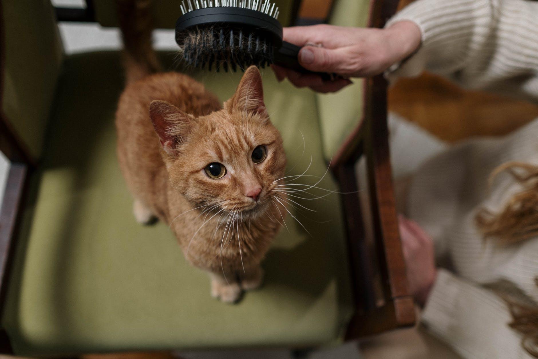 Comment brosser un chat