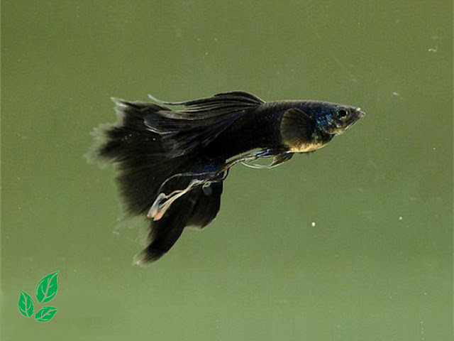 Jenis Guppy Full Black Thailand