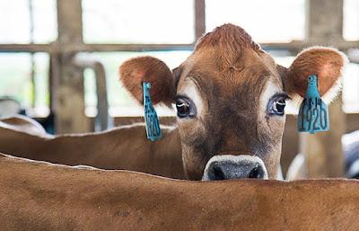 infertility in a cow