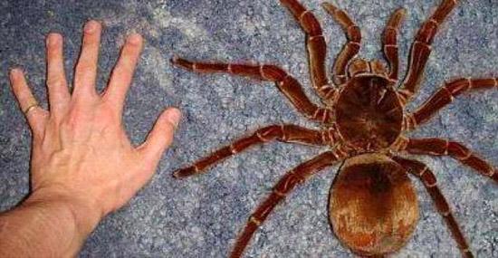 Maior Aranha do Mundo vive no Brasil- conheça a Aranha Golias comedora de pássaros - Capa