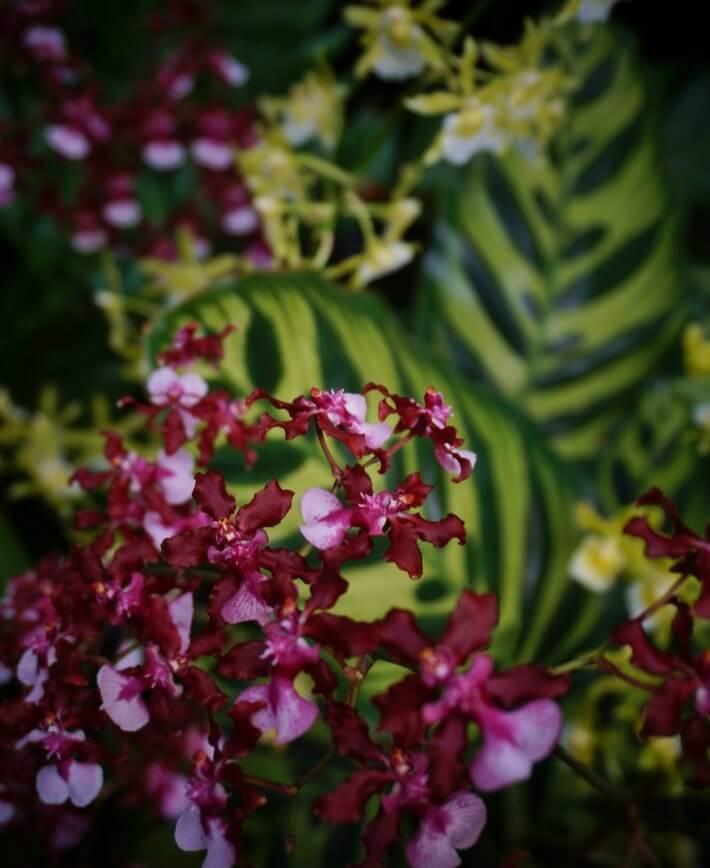 Orquídeas Oncidium en Tropical Terrace Longwood Gardens 2017 Orchid Extravaganza