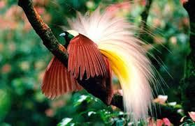 mistik,burung cenderawasih,asal usul burung cenderawasih