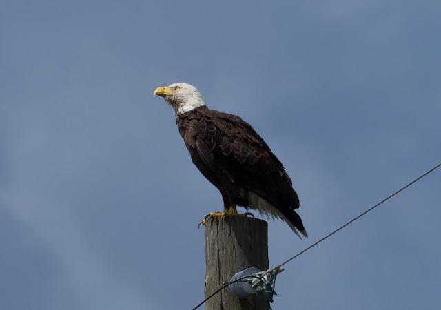 Bald Eagle - Joe Overstreet Road, Florida