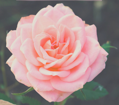 A photo of pink rose