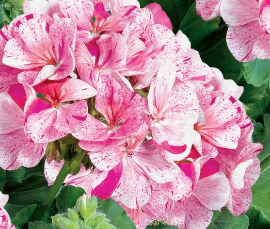 Types Of Geraniums: Perennials And Annuals: Geraniums