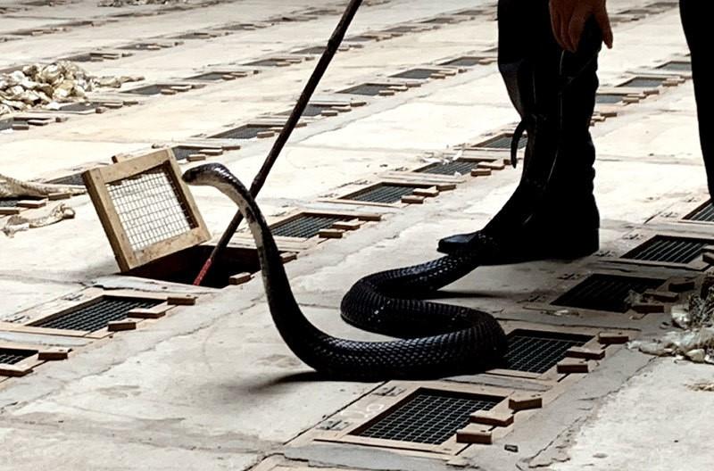 Nghề nuôi rắn độc vốn dĩ là nghề rất nguy hiểm