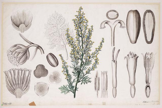 Artemesia absinthium, Botanische wandplaten; PD