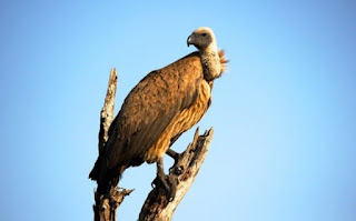 गिद्ध के बारे में जानकारी▷ some facts about vulture in hindi