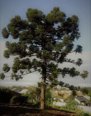A imagem mostra uma frondosa árvore  de araucária onde as crianças podiam brincar.