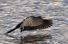 Reed cormorant  in Flight Woodbridge Island Image Copyright Vernon Chalmers Photography