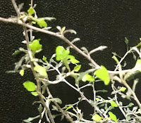 Corokia, nærbilde av blader