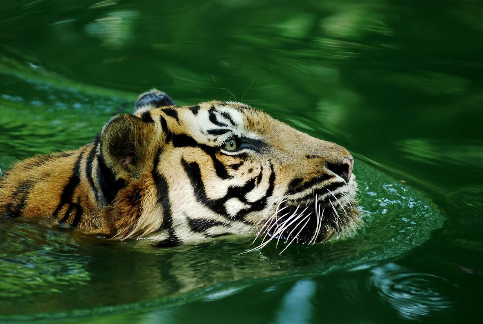 tiger wallpaper 3d