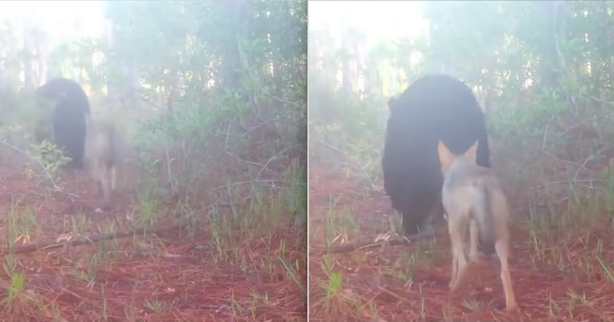 Florida Trail Camera Catches Bear And Coyote Travelling Together Like Two Friends