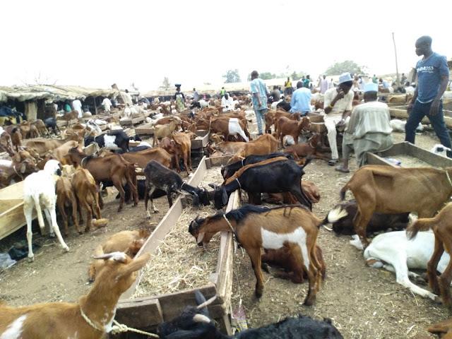 Goat Market West Africa Dwarf Livestocktrend