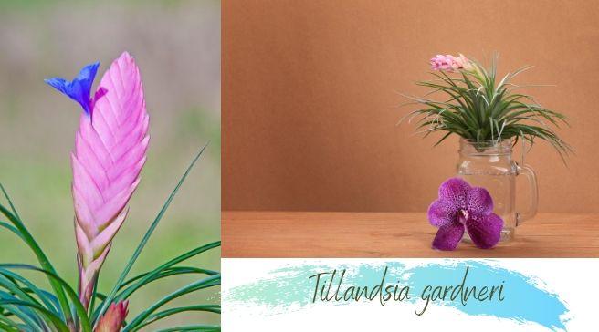 Tillandsia gardneri Care and Grow   Air plant