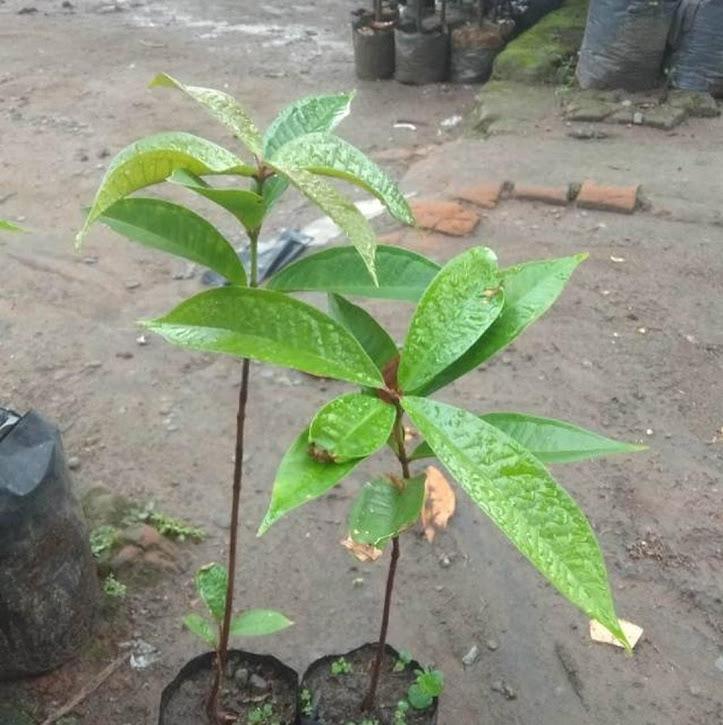 Bibit Tanaman Buah Jambu Air Dersono dari Biji Parepare