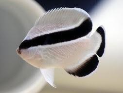 Jasa Import Ikan Hias Thailand Ke Indonesia