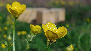 buttercups and bee hives