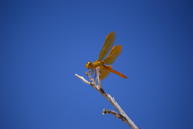 small sunny garden, amy myers, sonoran desert, dragonfly