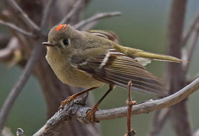Photo of Ruby-crowned Kinglet in a tangle of branches