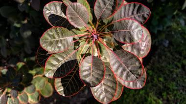 Cotinus, arbustos con meses de interés a través de sus hojas, flores y color de otoño