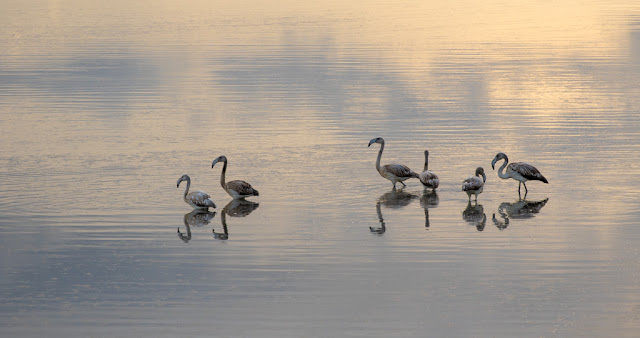 Fenicotteri al Parco naturale Molentargius-Saline a Cagliari