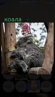 389 фото коала сидит на дереве между веток 18 уровень