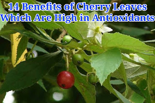 14 Benefits of Cherry Leaves Which Are High in Antioxidants For Body Health