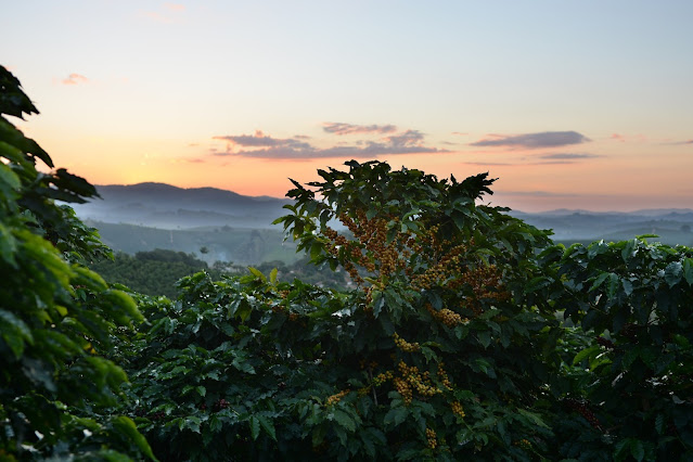 best coffee to try from around the world during, coffee plantation