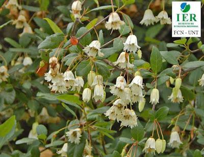 Talilla (Crinodendron tucumanum)