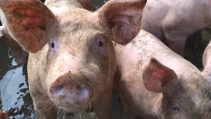 China confirma novo surto de peste suína africana em Guangxi