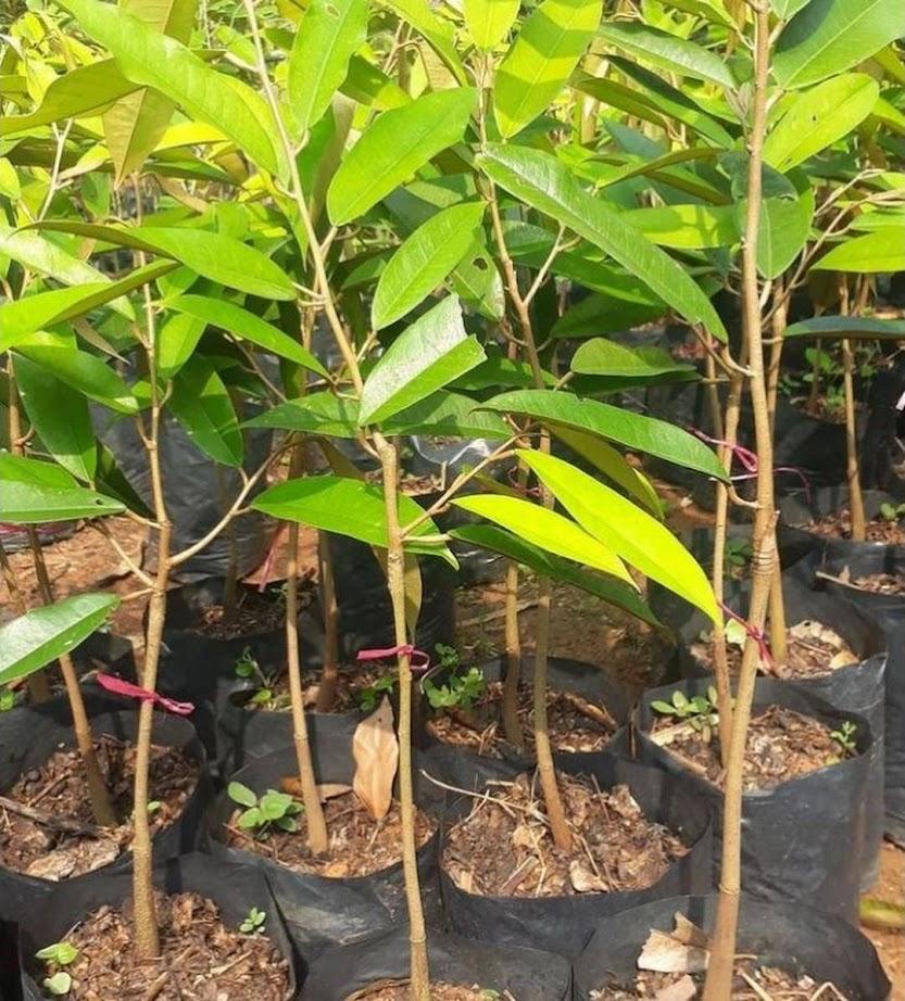 Bibit Durian montong super unggulan hasil okulasi Bangka Belitung
