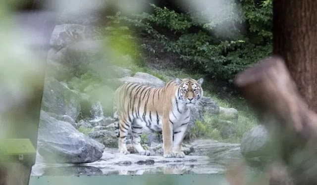 Tiger mauls 55 year-old zoo keeper to death in front of horrified visitors